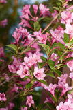 Weigela Royalty-vrije Stock Foto