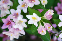 Weigela Royaltyfria Bilder