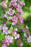 Weigela Stockfotos