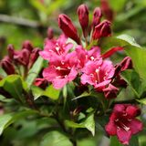 Weigela Obraz Stock
