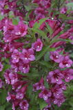 Weigela Lizenzfreie Stockfotos