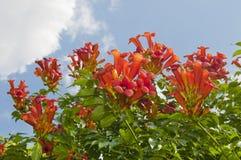 Weigela di fioritura Florida del cespuglio Fotografie Stock