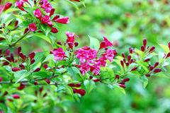 Weigela florida Stock Photo