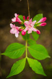 Weigela florida Royaltyfria Bilder