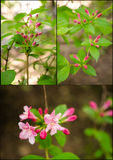 Weigela florida collage Royalty Free Stock Photos