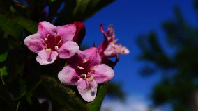 Weigela Florida Eva Supreme video d archivio