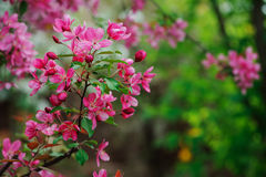 Weigela florida flowering bush in spring garden Royalty Free Stock Image
