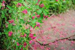 Weigela florida flowering bush in spring garden Stock Images