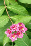 Weigela florida flowers Royalty Free Stock Photos