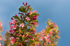 Weigela florida flowers Royalty Free Stock Photo