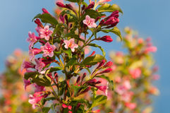Weigela florida flowers Stock Image