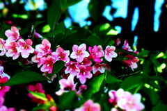 Weigela florida 'Purpurea' Stock Photos