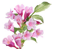 Weigela Flower Cluster Royalty Free Stock Photography
