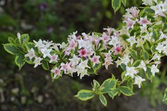 Weigela Flower stock image