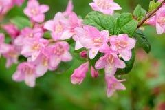 Weigela flowers Stock Images