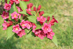 Weigela flowers Royalty Free Stock Photo