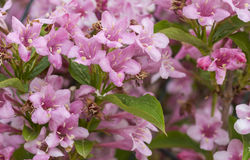Weigela Royalty Free Stock Photography