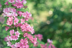 Weigela Royalty Free Stock Image