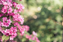 Weigela Royalty Free Stock Photos