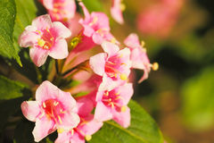Weigela flowers Stock Photo