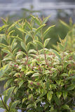 Weigela - French Lace Stock Images