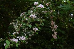 Weigela hortensis flowers. / Japanese weigela royalty free stock photo