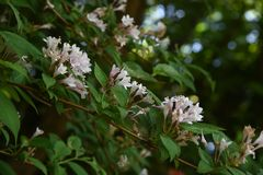 Weigela hortensis flowers. / Japanese weigela stock photo