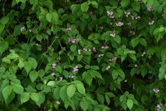 Weigela hortensis flowers. / Japanese weigela stock images