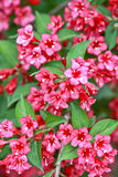 Weigela krzak Obrazy Royalty Free