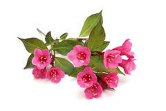 Weigela kwiaty Obrazy Stock