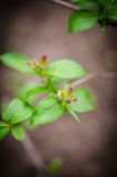 Weigela la Floride Photographie stock