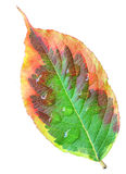 Weigela Leaf Royalty Free Stock Images