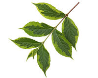 Weigela Leaf. Ovate oblong with accuminate tip and serrated margin Royalty Free Stock Photography