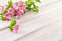 Weigela pink flowers in blossom Royalty Free Stock Photography