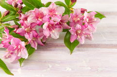 Weigela pink flowers in blossom Stock Images