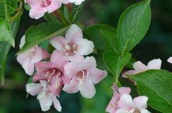 Weigela pink flowers Stock Photos