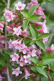 Weigela pink flowers and leaves Stock Photos