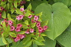 Weigela plant in bloom with hosta plant. Royalty Free Stock Photo