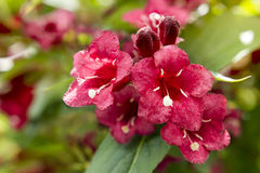 Weigela with red bell flowers Royalty Free Stock Images