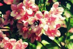 Weigela rosado floreciente de la flor Flor polinizada abeja Foto de archivo libre de regalías