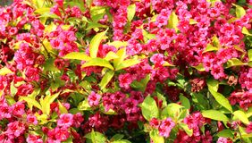 Weigela rubidor in full flower background. A Weigela Rubidor bush or shrub in full flower in early Summer. Bright red flowers and lime green leaves. Background stock photos