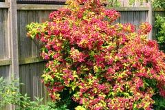 Weigela rubidor in full flower. A Weigela Rubidor bush or shrub in full flower in early Summer. Bright red flowers and lime green leaves stock image
