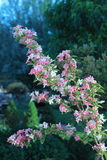 Weigela Shrub Stock Images