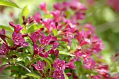 Weigela-Strauch lizenzfreie stockfotos
