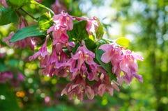 Weigela Wеigelа Ñ€rаecox que florece en la primavera en un parque de la ciudad en St Petersburg Imágenes de archivo libres de regalías