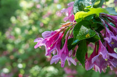 Weigela Wеigelа рrаecox que floresce na primavera em um parque da cidade em St Petersburg Imagens de Stock Royalty Free