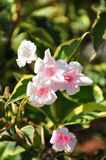 Weigela (Weigela florida) Stock Image