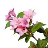 Weigela. Zweiganlagen mit Blumen Lizenzfreie Stockfotos