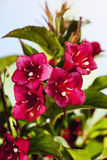 Weigelia, ruby Royalty Free Stock Image