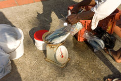 Weighing fish in the windward islands. Caribbean jackfish on a scale at a fishmarket in the caribbean Stock Image